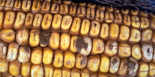 Corn_Aspergillus_ear_and_kernel_rot_Aspergillus_flavus