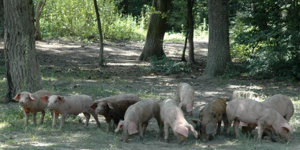У храстовим шумама Обедске баре (будуће НАТУРА 2000 подручје) локално становништво узгаја свиње. Свиње се хране жиром и другим шумским производима.